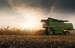 Harvesting of corn field with combine Stock Image