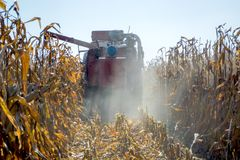 Harvesting corn in the field combine. stalks full grain on the background of technology.  royalty free stock photography