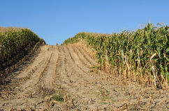 Harvesting Corn Field Royalty Free Stock Photos