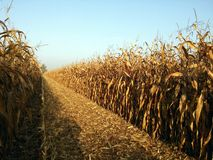 Harvesting corn fields autumn countryside Royalty Free Stock Image