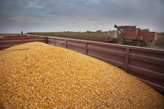 Harvesting corn maize Stock Photo