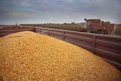 Harvesting corn maize Stock Photo