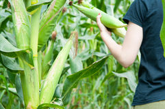 Harvesting corn Stock Image