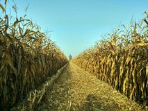 Harvesting cornfield fall fields in autumn Stock Photo