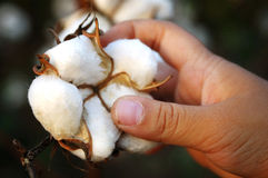 Harvesting cotton Stock Image