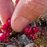 Harvesting cranberries Vaccinium vitis-idaea Stock Photography