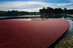 Harvesting cranberry bog Stock Image