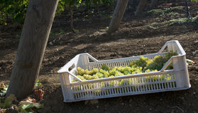 Harvesting into crates Royalty Free Stock Photography
