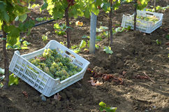 Harvesting into crates Stock Photography