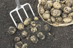 Harvesting crop of  potatoes Royalty Free Stock Photo