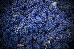 Harvesting crush able grapes Stock Photography