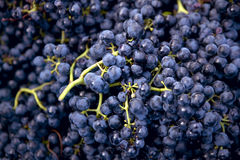 Harvesting crush able grapes Royalty Free Stock Images