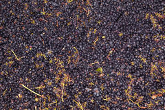 Harvesting crushable grapes Royalty Free Stock Photography