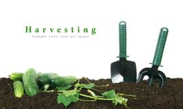 Harvesting. Cucumbers and garden tools on earth. Stock Image