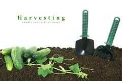 Harvesting. Cucumbers and garden tools on earth. Royalty Free Stock Photos