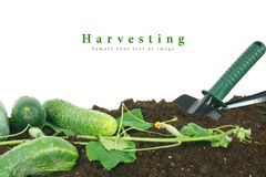Harvesting. Cucumbers and garden tools on earth. Royalty Free Stock Photography