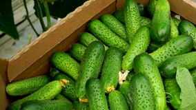 Harvesting cucumbers in a greenhouse in a box while driving on a cart. stock footage