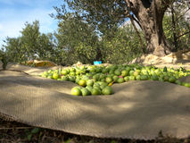 Harvesting day on olive tree plantation Royalty Free Stock Photography