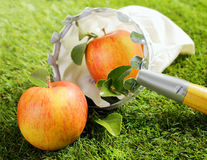 Harvesting fresh autumn apples Stock Photos