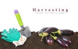Harvesting. Eggplants and garden tool on earth. Stock Photo