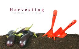 Harvesting. Eggplants and garden tool on earth. Royalty Free Stock Photo