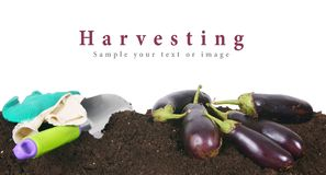 Harvesting. Eggplants and garden tool on earth. Royalty Free Stock Photos