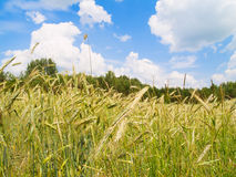 Harvesting field of rye stock photos