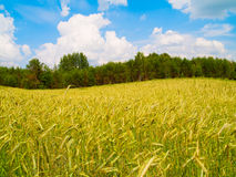 Harvesting field of rye Royalty Free Stock Images