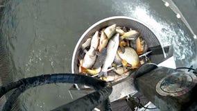 Harvesting fish in fish farm stock video