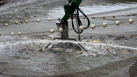 Harvesting fish in the pond stock video