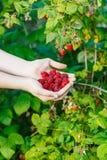 Harvesting - fistful of ripe raspberries stock image
