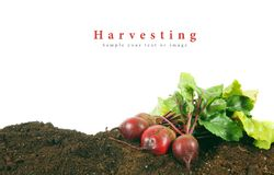 Harvesting. A fresh beet on earth. Stock Photography