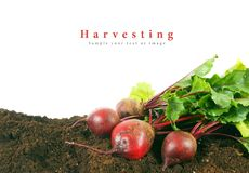 Harvesting. A fresh beet on earth. Stock Images