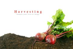 Harvesting. A fresh beet on earth. Royalty Free Stock Photo