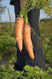 Harvesting fresh carrots Stock Photos