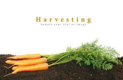 Harvesting. Fresh carrots on earth. Royalty Free Stock Photos