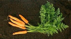 Harvesting. Fresh carrots on earth. Stock Images