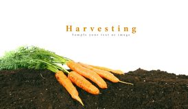 Harvesting. Fresh carrots on earth. Stock Photography