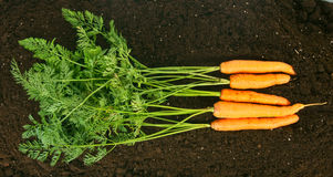 Harvesting. Fresh carrots on earth. Royalty Free Stock Photography
