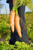 Harvesting fresh carrots. Gardener while harvesting fresh orange carrots from the field in autumn Stock Images