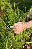 Harvesting fresh chives. Elder hands harvesting fresh chives in the garden Stock Images