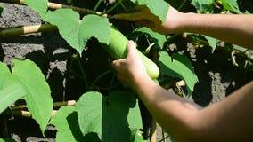 Harvesting fresh cucumber stock footage