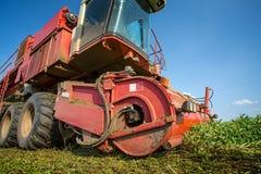Harvesting fresh green peas Stock Photos
