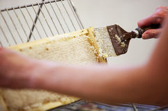 Harvesting fresh honey from the bee hive Royalty Free Stock Image