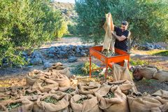 Fresh olives harvesting from agriculturists in a field of olive trees for extra virgin olive oil production. Harvesting fresh olives from agriculturists in an stock image