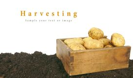 Harvesting. A fresh potato in old box on earth. Royalty Free Stock Photo