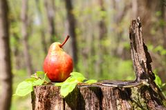Harvesting. A fresh ripe red pear of the original form lies on a Stock Images