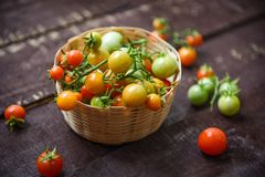 Harvesting fresh tomato with green and ripe red tomatoes in basket on dark wooden background stock images