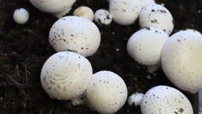 Harvesting fresh white mushrooms stock video