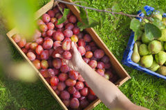Harvesting Fruit. Overhead view of someone placing freshly picked plums into a wooden crate Stock Photo
